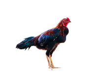 Red rooster isolated on white background. Rooster isolated on white background Royalty Free Stock Image