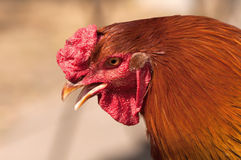 Red rooster portrait Royalty Free Stock Photography
