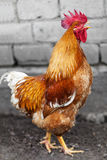 Red rooster Royalty Free Stock Photography