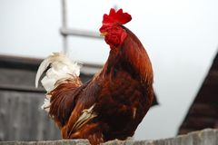 Red rooster sitting on the fense Stock Photos