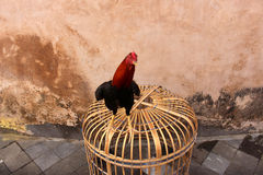 Red Rooster. Standing in front of the wall Stock Image