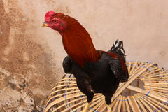 Red Rooster. Standing in front of the wall Royalty Free Stock Photography