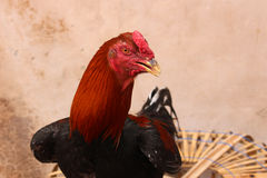 Red Rooster. Standing in front of the wall Royalty Free Stock Image
