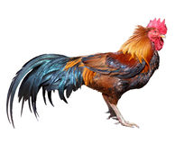 Red rooster on white background Stock Image
