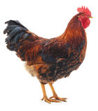 Red rooster. Royalty Free Stock Photography