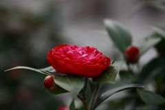 Red Rosa aurora,rose bengal camellia, japonical in full bloom with green leaf stock photo