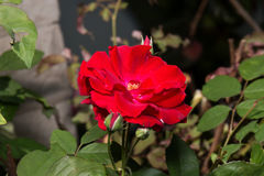 Red Rosa Canina Flower. With Buds and Green Leaves Royalty Free Stock Photo