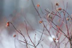 Red dog rose berry in cold white winter cover. Red dry dog rose in cold white winter cover stock photos