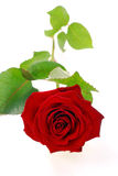 Red rosa isolated on white Royalty Free Stock Images