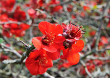 Red Rosaceae Stock Images