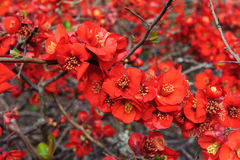 Red Rosaceae Stock Photography