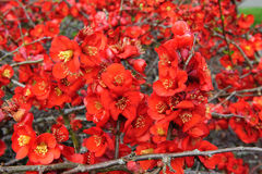 Red Rosaceae Royalty Free Stock Images