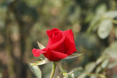 Red rose. ,red rose,pink,under sunshine,outdoor beauty, freshness, green background, Photographs of the natural environment, love Stock Images
