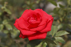 Red rose. ,red rose,pink,under sunshine,outdoor beauty, freshness, green background, Photographs of the natural environment, love Stock Image