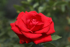 Red rose. ,red rose,pink,under sunshine,outdoor beauty, freshness, green background, Photographs of the natural environment, love Royalty Free Stock Photography