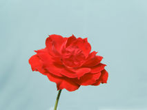 Red rose. ,red rose,pink,under sunshine,outdoor beauty, freshness, light blue background, Photographs of the natural environment, love Stock Photo