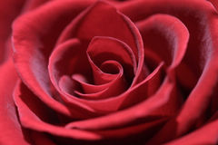 Red rose. Closup Royalty Free Stock Images