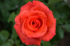 Red rose. On the garden royalty free stock images