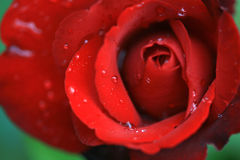 Red rose. Rain drops on rose leaves Stock Photo