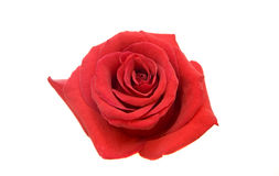 Red rose. Isolated on white Stock Photo