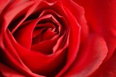 Red rose. Closeup stock photos