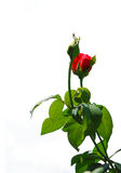 Red Rose. A rose isolated on a white background with some of the green leaves and stem showing Royalty Free Stock Photos