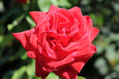 Red rose. Blossom of a lovely red rose Stock Photography