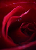 Red rose. Or wet petals Stock Photo