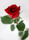 Red rose. In white background Stock Photos
