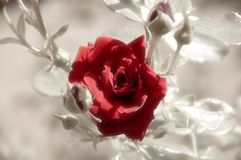 Red Rose. Soft-look red rose stock photography