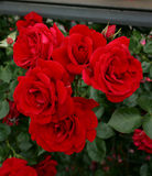 Red rose. Flowering all years from april to november if we regulary removing old flower and permanently fertilize it. This beautiful rose is grandiflower Stock Photo