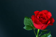 Red rose. Red flower rose, dark background Royalty Free Stock Photo
