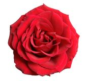 Red rose. Isolated on the white background royalty free stock images