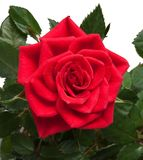 Red rose. Isolated on the white background Stock Images