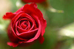 Red rose. Closeup of single red rose with green nature background Royalty Free Stock Photos