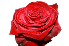 Free Red Rose Stock Photography - 12438312