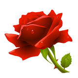 Red rose. Vector red rose with dew on petals Royalty Free Stock Photo