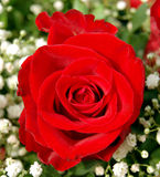 Red rose. Detailed shot of a red rose Royalty Free Stock Photo