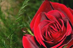 Red rose. Symbol of the big love Stock Photo