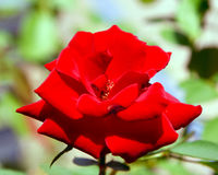 Red rose. Image of the red rose Stock Photo