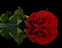 Red rose. On a black background Royalty Free Stock Photo