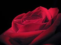 Red rose. One red rose closeup on dark background Royalty Free Stock Images