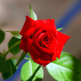 Red rose. Image of the red rose Stock Images