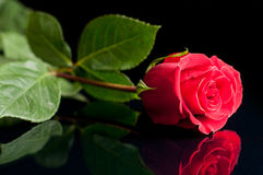 Red rose. On a black background Stock Photo