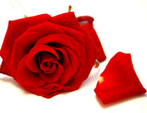 Red rose. And petals of a rose, on a white background Stock Photo