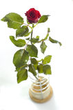 Red rose. Isolated on white Stock Photography