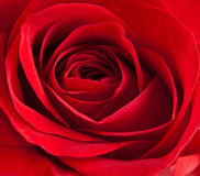 Red rose. Close-up of a beautiful red rose Royalty Free Stock Photos