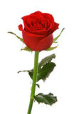 Red rose. Isolated over white background Royalty Free Stock Images