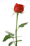 Red rose. Isolated over white background Royalty Free Stock Photo