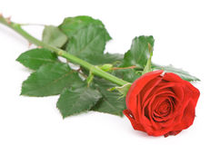 Red rose. Isolated over white background Stock Photos
